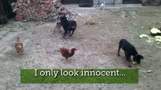 hilarious dogs 01 - Video