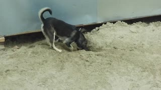 Street dogs play and dig pits  - Video