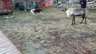 Dog Tries to Walk a Reindeer with Rope