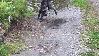 Black dog running back and forth through puddle