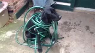 Black Labrador Gets Caught In Green Hose - Video