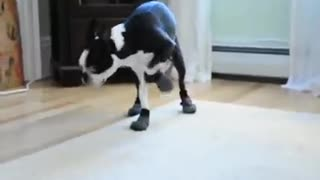Cute dog trying his new shoes