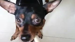 Black chihuahua playing tug of war with owner over bone - Video