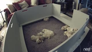 Golden Retriever Mom's Priceless Response When Puppy Can't Find Her