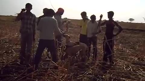 dogs hunting rabbits in india