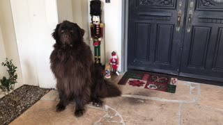 Noble Newfoundland heroically stands guard