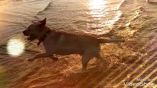 Brown dog simba running on beach - Video