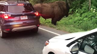 Bison Charges At Man After Being Taunted In Yellowstone Park