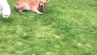 Funny dog chase in backyard