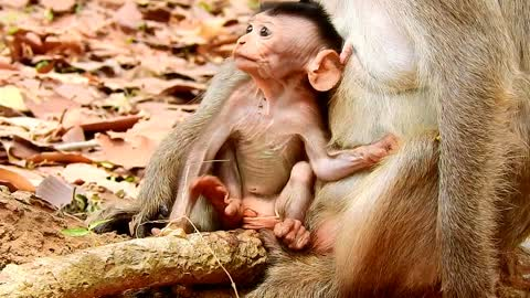 Lovely baby monkey come with mother to finding food, mother good to baby