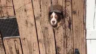 Two brown white dogs greet owner through brown fence  - Video