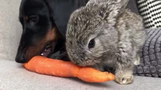 Black dog and grey bunny share eat a carrot - Video