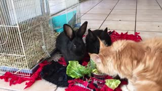 Cat steals rabbit food - Video