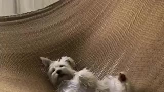 Small white dog relaxing on brown knitted hammock