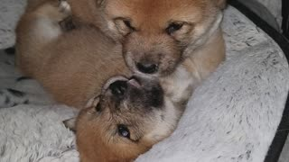 Cute Shiba Inu puppies at play
