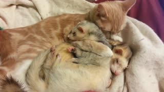 Cat gives ferrets a bath! || Viral Video UK - Video