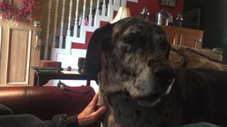 Angry Great Dane Gets Furious When Dinner Plans Change - Video