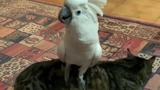 Cockatoo Hilariously Barks While Standing On Cat - Video