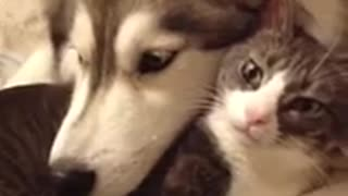 Husky loves her feline best friend