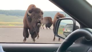 Bossy Bison Grunts at Park Visitors