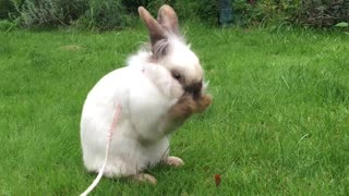 Adorable bunny sits down for a face wash - Video