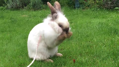 Adorable bunny sits down for a face wash