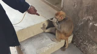 Small monkey eating banana  - Video