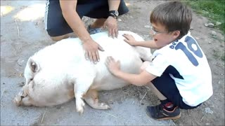 happy pig - Video