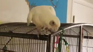 Cockatoo Throws Fit Over Cardboard