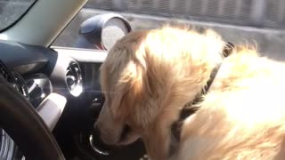 Golden Retriever Assists Owner With Driving Duties