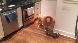 Dog is dressed as lion