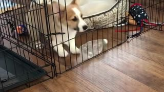 Corgi bites water bottle jumps out of cage