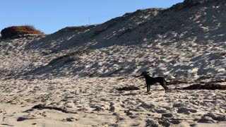 Black dog chases birds on a beach  - Video