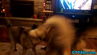 Trio of Siberian Huskies play fight