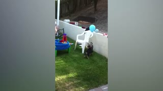 Adorable Puppy vs The Balloon - Video