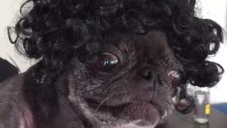 Black dog wearing curly haired black wig - Video