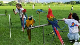 A very cool video of a group of colorful parrots in a public park
