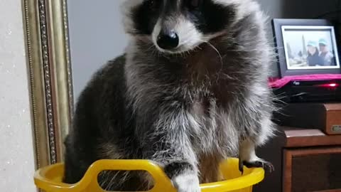 Raccoon in the basket