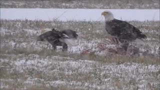 Bald Eagles Beside Their Deer Feast In The Snow!  - Video
