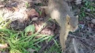 Squirrel Makes off with Smoke