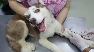 Husky's First Visit to the Vet - Video