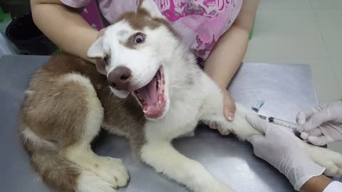 Husky's First Visit to the Vet