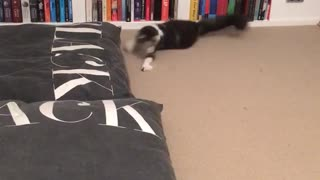 Black and white cat with glowing green eyes tries to catch laser and jumps around room