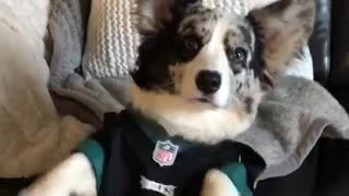 Corgi dog wears eagles jersey while owner shakes his paws  - Video