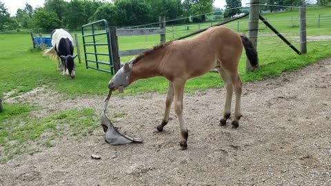 Cute foal playing with his Mom's fly mask