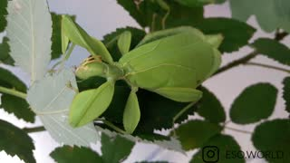 LEAF INSECT EATING LEAVES  - Video
