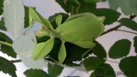 LEAF INSECT EATING LEAVES