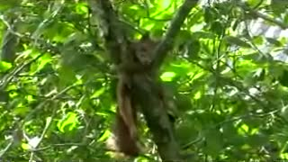 Little squirrel  - Video