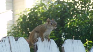 A eavesdropping squirrel