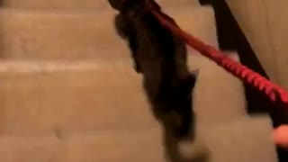 Lady walks black cat red leash stairs - Video